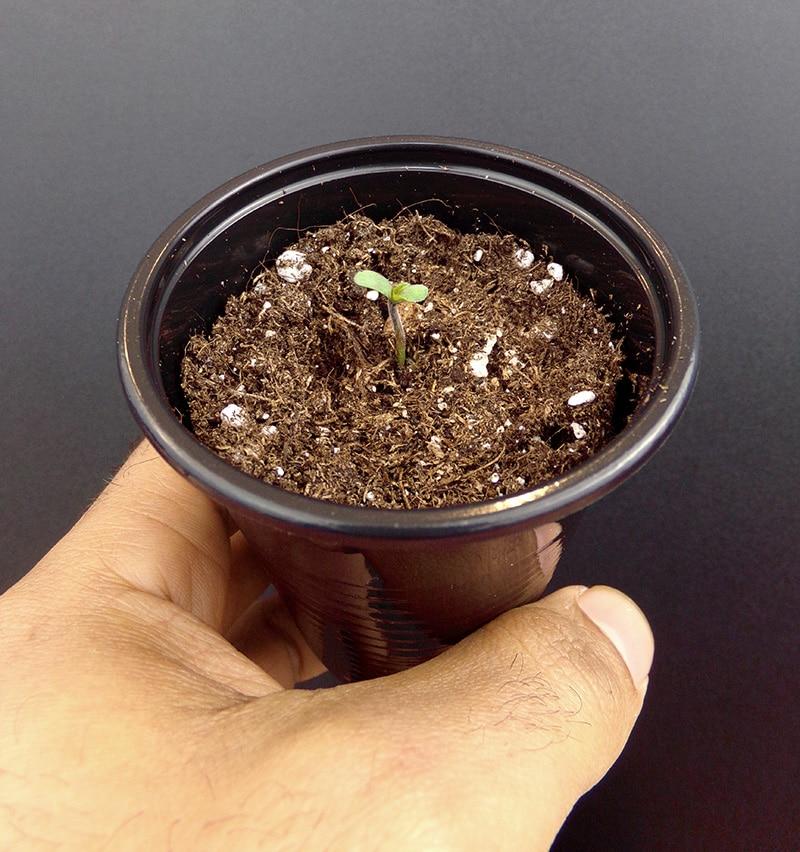 Weed Seedling