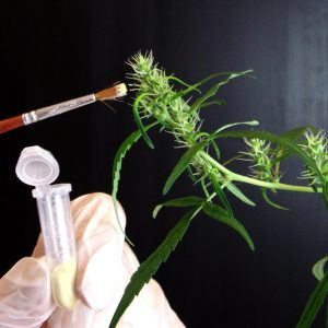 Cannabis Breeding Made Simple