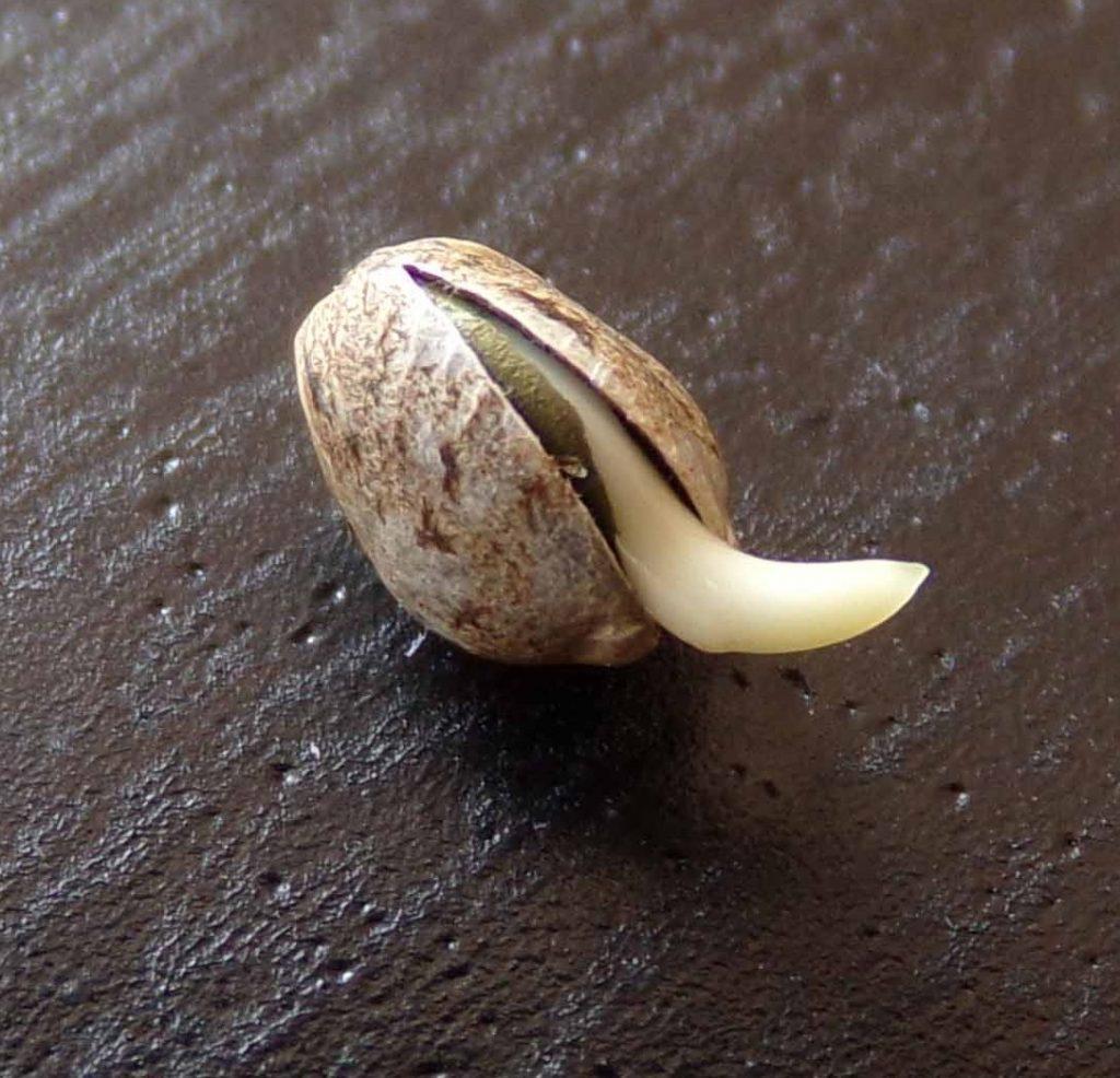 Landrace Seed Germitation