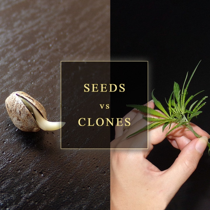 Seeds Or Clones