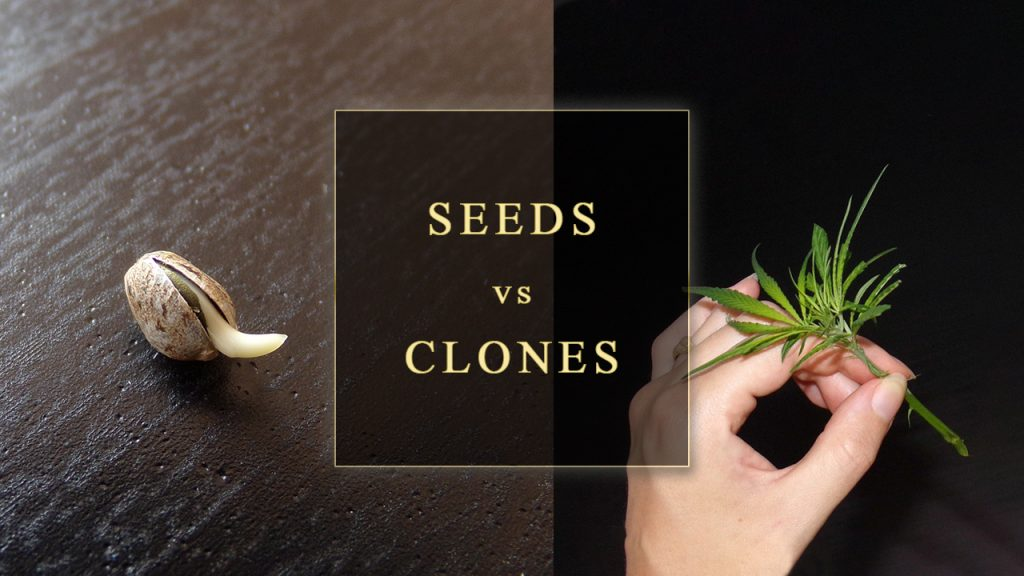 Seeds VS Clones comparison
