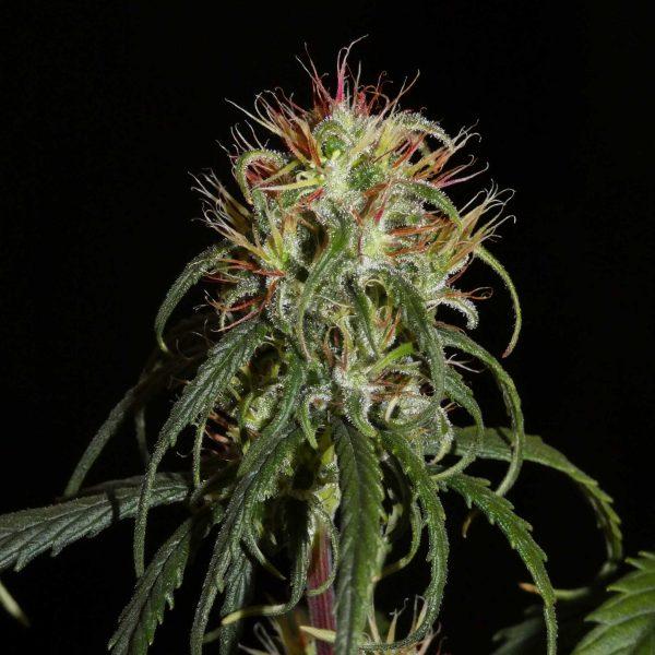 Siberian Autoflowering Cannabis