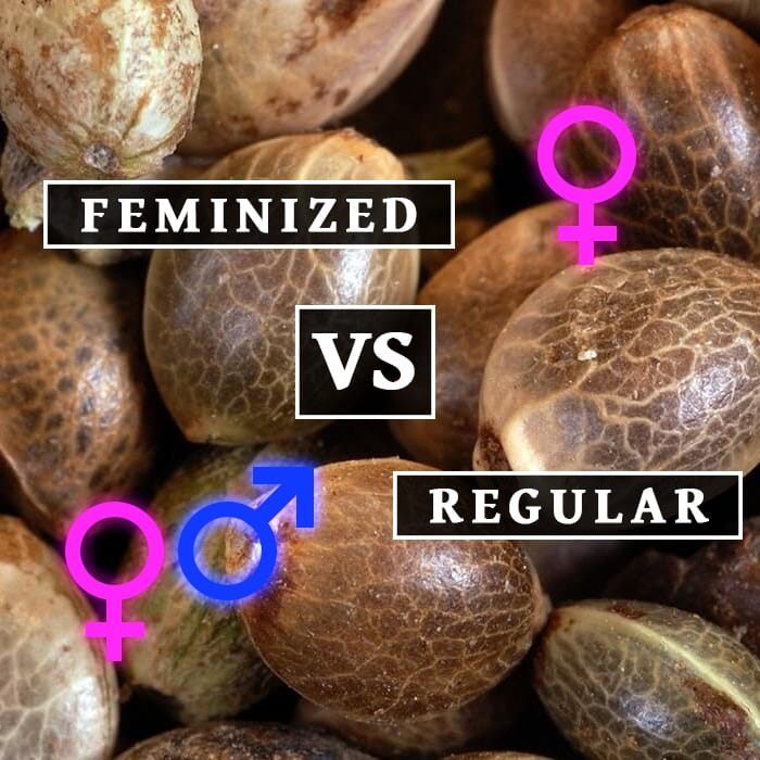 The Truth About Feminized Seeds