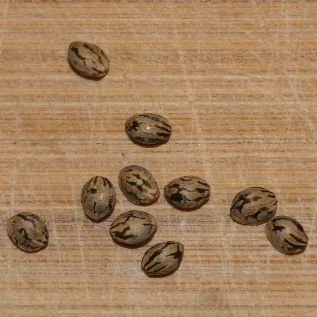 Cannabis Seeds Tiger Stripes.