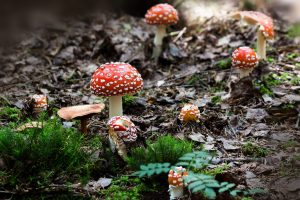 Mushrooms and Mycorrhizal Fungi