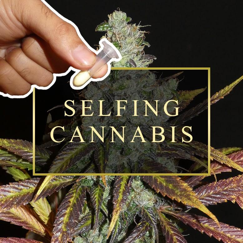Selfing A Cannabis Plant
