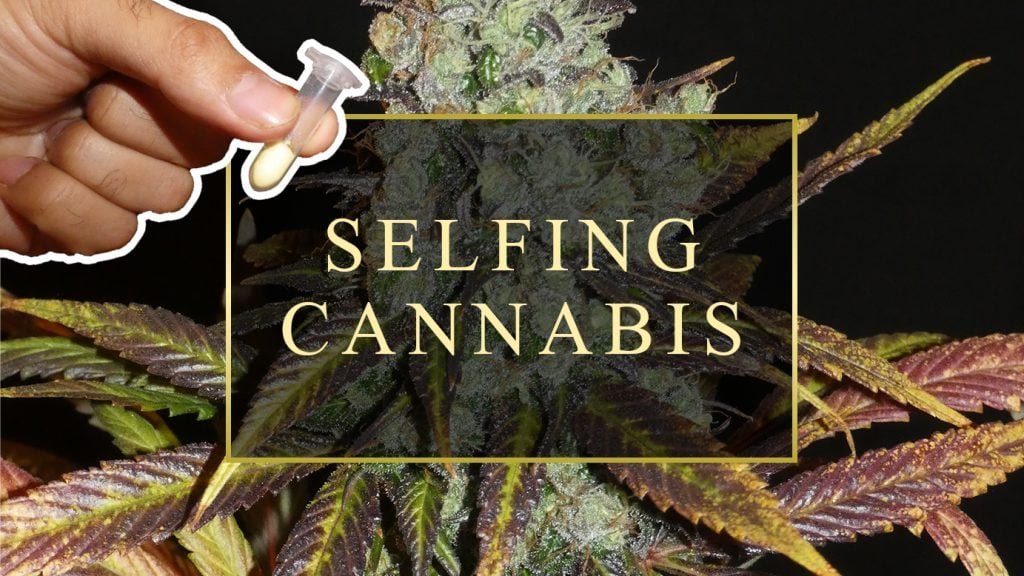 Cannabis Selfing Method